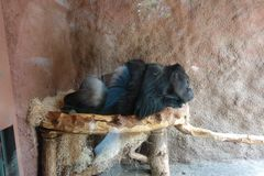 Monkey sleeping peacefully in the Prague Zoo. royalty free stock photos