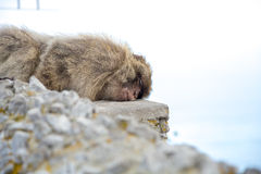 Monkey sleeping on the rock Royalty Free Stock Photo