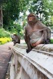 Monkey Sleeping Royalty Free Stock Images
