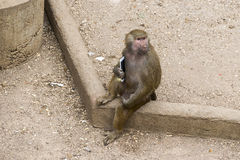 Monkey with a smartphone royalty free stock photography