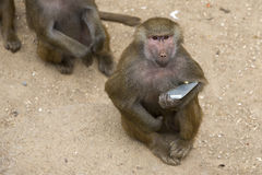 Monkey with a smartphone royalty free stock image