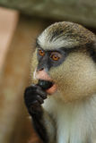 Monkey, snacking. Trying to find out if the fruit is edible Stock Image