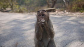 Monkey at SNGP. Wildlife of Mumbai Royalty Free Stock Images