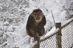Monkey in the snow Royalty Free Stock Images