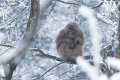 Monkey in snow Stock Photo