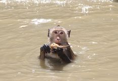 Monkey. A monkey soak with his food Royalty Free Stock Images
