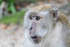 Monkey in songkhla thailand. In songkhla monkey very much Royalty Free Stock Photos