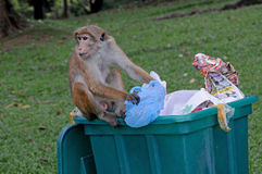 Monkey sorts garbage Royalty Free Stock Images