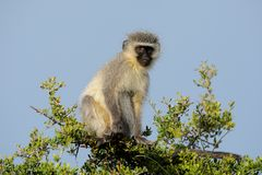 Monkey, South Africa Stock Photos
