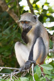 Monkey Speak No Evil Stock Photos