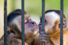 Monkey species Cebus Apella behind bars Royalty Free Stock Images