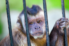 Monkey species Cebus Apella behind bars Stock Photography