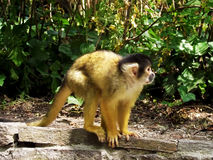 Monkey. Squirrel monkey portait. Royalty Free Stock Images