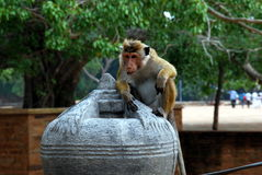 Monkey in Sri Lanka. A money on a stone sculpture in Sri Lanka Royalty Free Stock Images