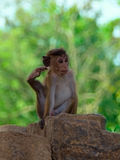 Monkey in Sri Lanka Royalty Free Stock Images