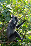 Monkey in Sri Lanka. Monkey in Yala national park, Sri Lankan Royalty Free Stock Images