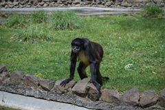 A monkey standing on a grass leaning against a fence of ponds. royalty free stock images