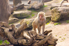 Monkey standing Royalty Free Stock Images