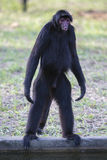 Monkey standing in outdoors park, Manaus, Brazil Stock Images