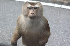 Monkey standing on the road looking at you Stock Photo