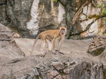 Monkey Standing on a Stone Cave. In Batu Caves, Malaysia Stock Photos