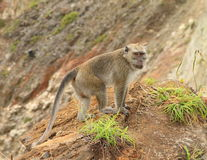 Monkey standing on top of crater on Kelimutu royalty free stock photography