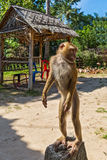 Monkey stands on a stone Royalty Free Stock Photo