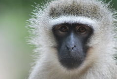 Monkey stare Stock Images