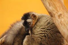Monkey stare Stock Photos