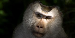 Monkey staring Stock Photography