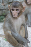 Monkey with staring eyes. Face of monkey peering around a rock Royalty Free Stock Image