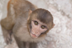 Monkey with staring eyes Stock Photos