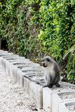 Monkey staring at his long tail Royalty Free Stock Photos
