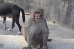 A monkey staring at other monkey. A well combed monkey staring and trying to challenge other monkey for food. This picture is taken in Swayambhunath aka. monkey Royalty Free Stock Images