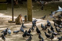 Monkey staring at pigeon flapping his wings. Monkey staring at a pigeon flapping his wings as he takes flight Stock Image