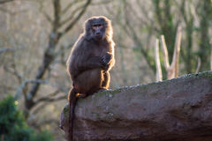 Monkey Staring from rock at the zoo Royalty Free Stock Images