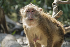 Monkey. Staring straight at you Royalty Free Stock Photography