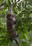 The Monkey Staring at Visitors. A monkey hanging on the branches is staring at tourists Stock Photo