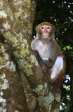 The Monkey Staring at Visitors. A monkey is sitting in the tree, staring at visitors Royalty Free Stock Images