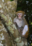 The Monkey Staring at Visitors. A monkey is sitting in the tree, staring at visitors Royalty Free Stock Image