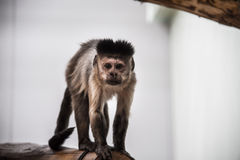 The monkey staring. The wild little monkey staring at the camera with hair set look alike royalty free stock photos