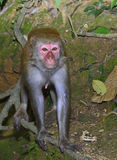 The Monkey is Staring at You.  Stock Photography