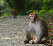 The Monkey is Staring at You. A monkey is sitting on the edge of the trail, staring at you Stock Photography