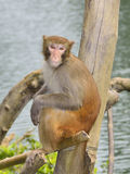 The Monkey is Staring at You. A monkey is sitting on the tree, staring at you Stock Photo