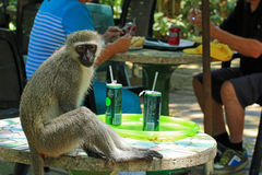 Monkey stealing people's food, Durban, South Africa. Cheeky monkey thief trying to steal people's food, cafe in Durban park, South Africa Stock Photos