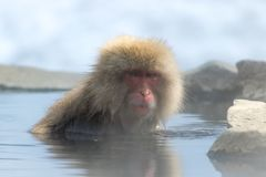 Monkey In Steaming Hot Water Royalty Free Stock Images