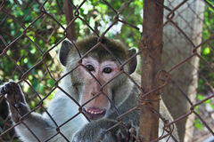Monkey. In a steel cage Royalty Free Stock Photo