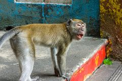 Monkey on the steps to the Batu Caves, Malaysia Royalty Free Stock Photo
