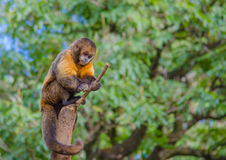 Monkey and stick. A monkey on top of a tree trunk playing with a stick Stock Image