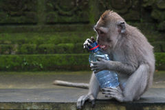 Monkey and a stolen bottle Royalty Free Stock Photos